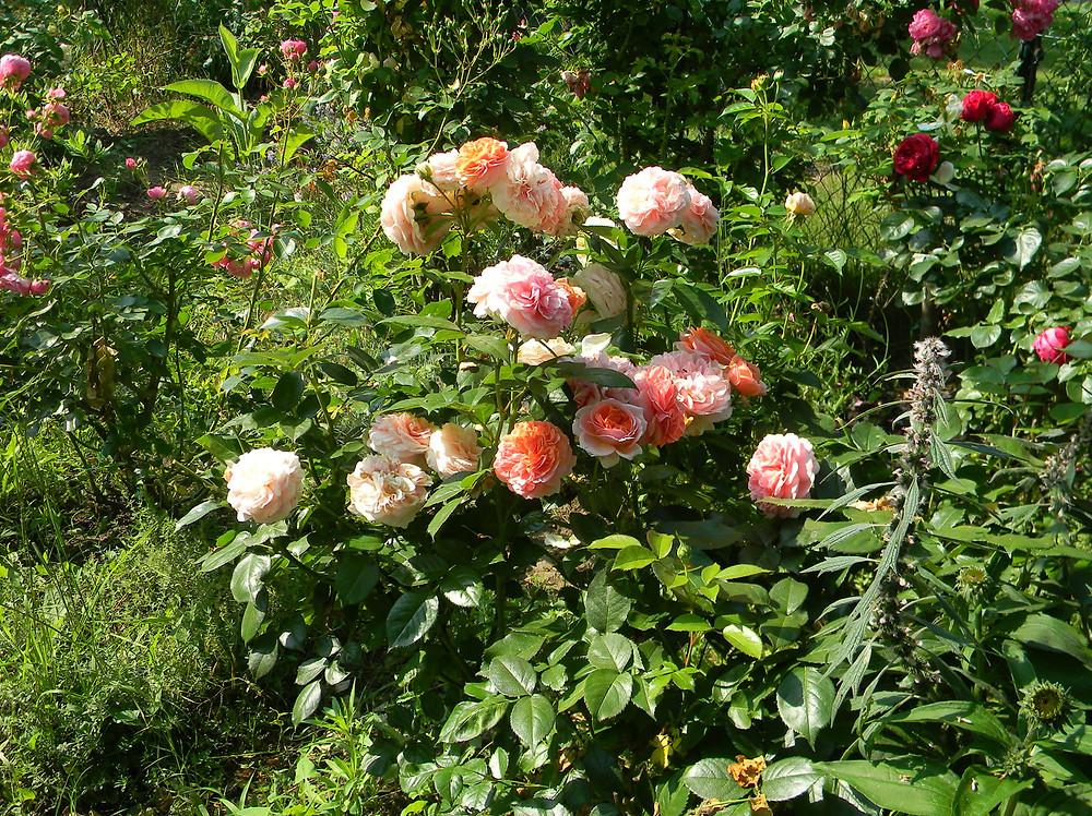 Magic fragrant rose