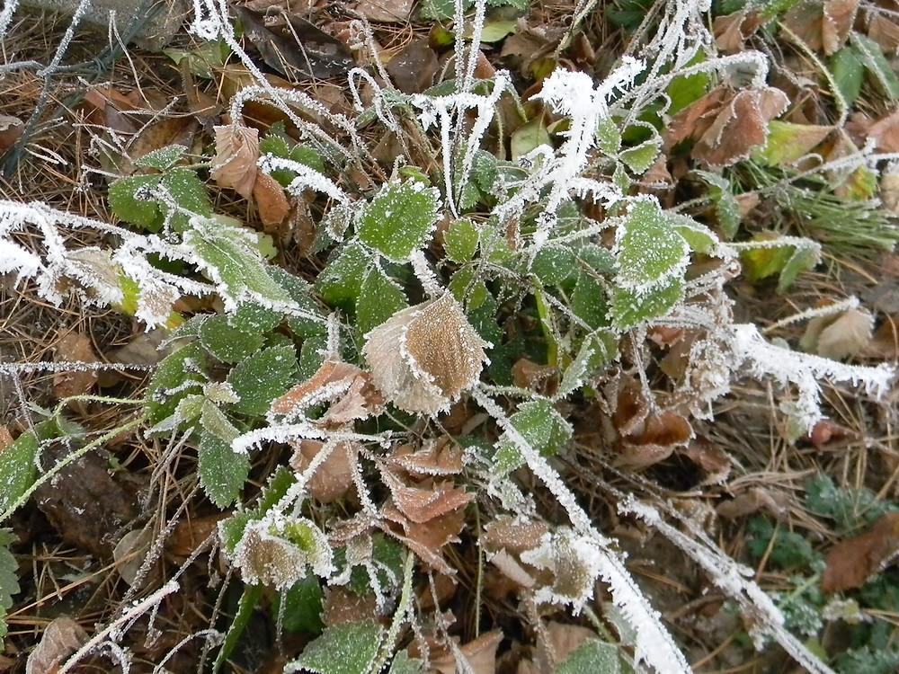 Jahodník obecný (Fragaria vesca)