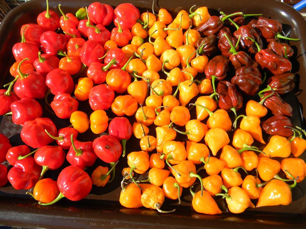 Capsicum Chinense cv.Jamaican Rosso, Capsicum Chinense cv.Habanero Chocolate, Capsicum Chinense cv.Orange Lantern