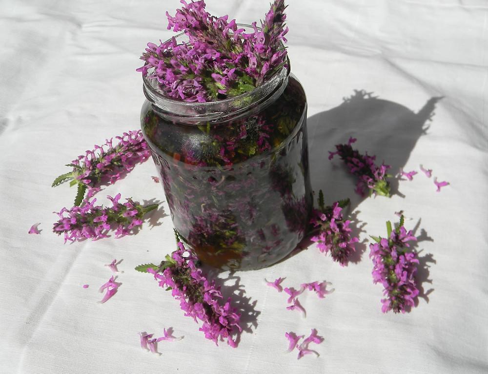 Wood Betony - Stachys officinalis (Betonica officinalis)