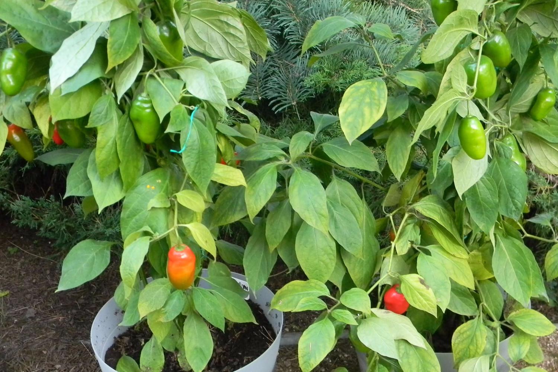 Ecuadorian Red