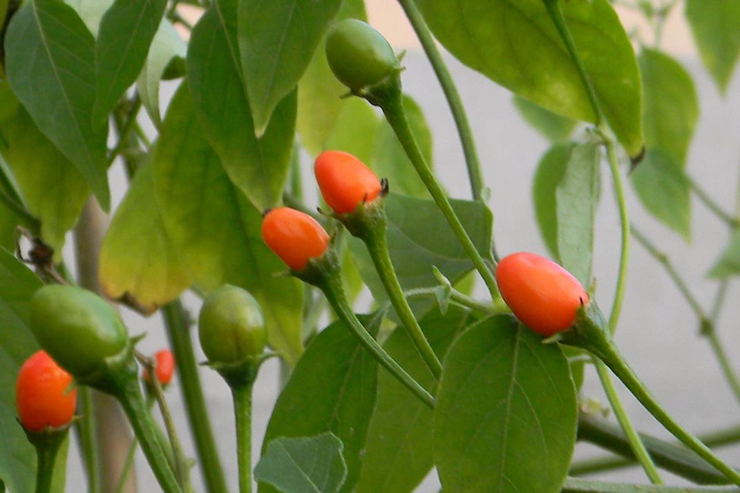 Capsicum Praetermissum