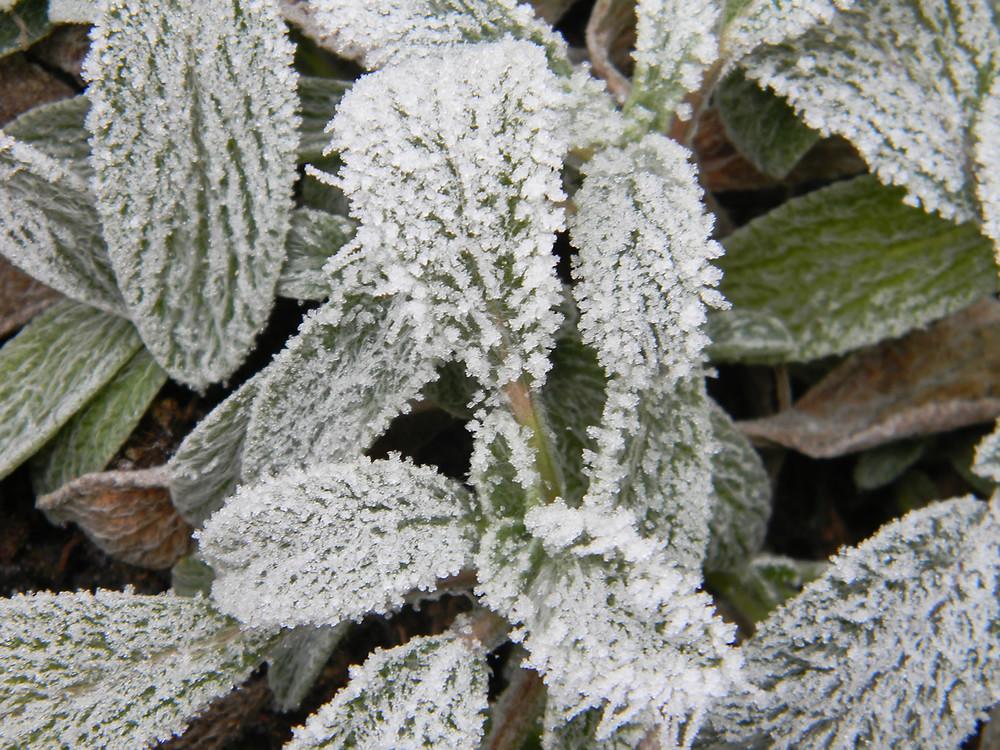Hojník horský (Sideritis scardica)
