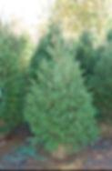 Live Christmas tree for planting