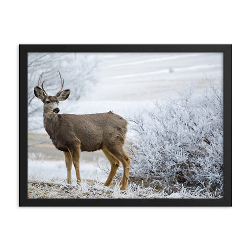Buck Two Framed Print