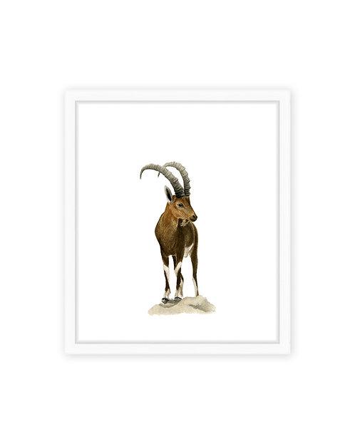 Original Ibex