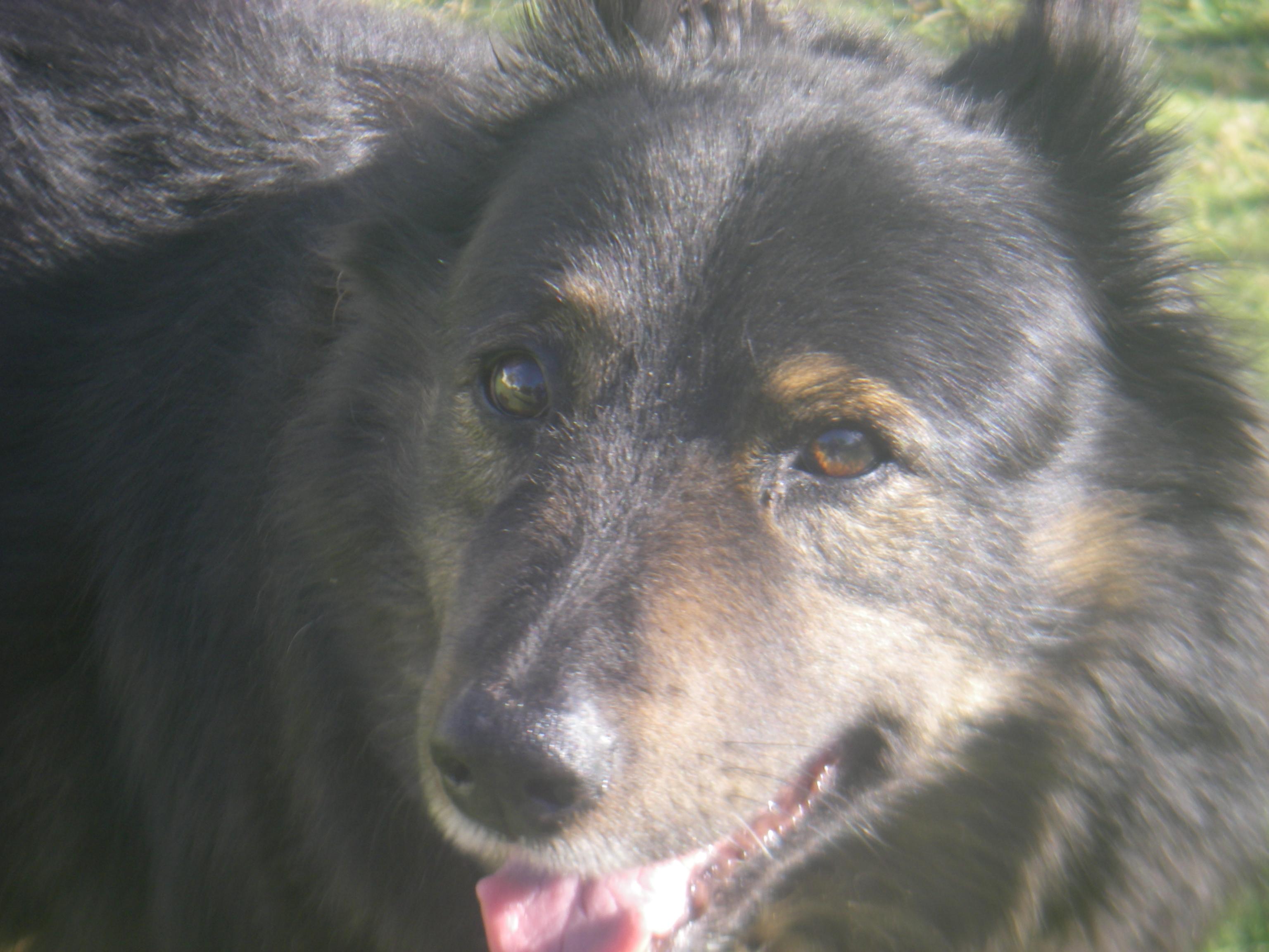 snowey pup 9 weeks 018.JPG