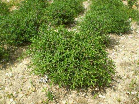 DAĞ KEKİĞİ, ZAHTER- Thymbra spicata