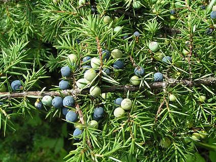 ARDIÇ YAĞI- Juniperuse