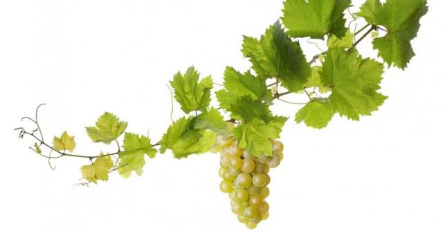 ASMA YAPRAĞI- Folia vitis