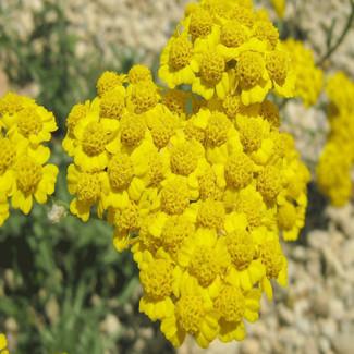 ALTIN OTU- Helichrysum arenarium