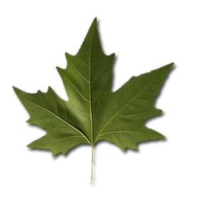 ÇINAR YAPRAĞI-  Platanus leaves