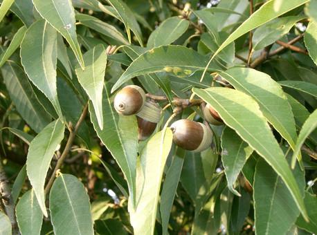 MEŞE PALAMUDU- Quercus ithaburensis