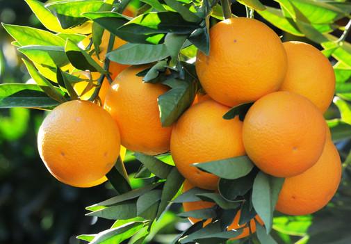 PORTAKAL- Citrus