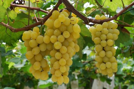 BEYAZ ÜZÜM- Vitis vinifera