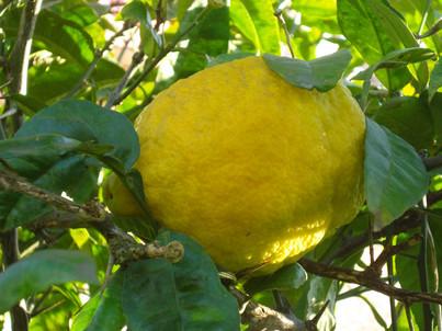 BERGAMUT-  Citrus bergamia