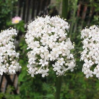 KEDİ OTU- Valeriana officinalis