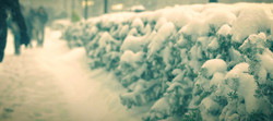 Snow covered bushes.