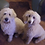 Thumbnail: F1b cream English Goldendoodles