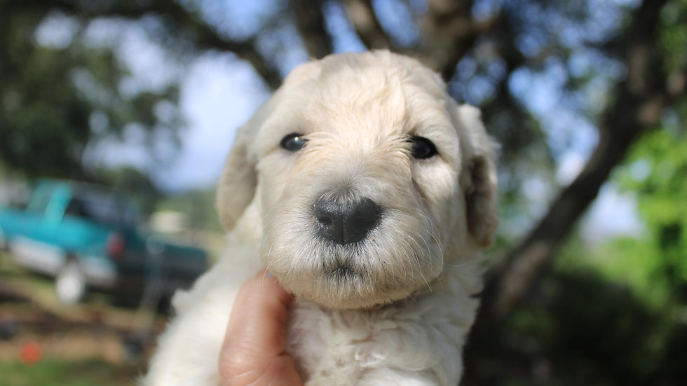 F1b cream English Goldendoodles