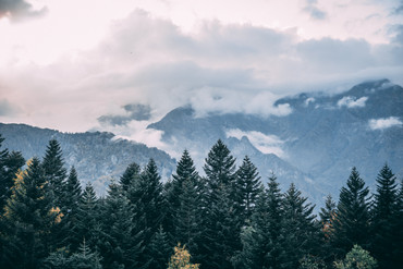 Alpe dennenbos bergen.jpg