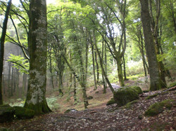 The beech forest