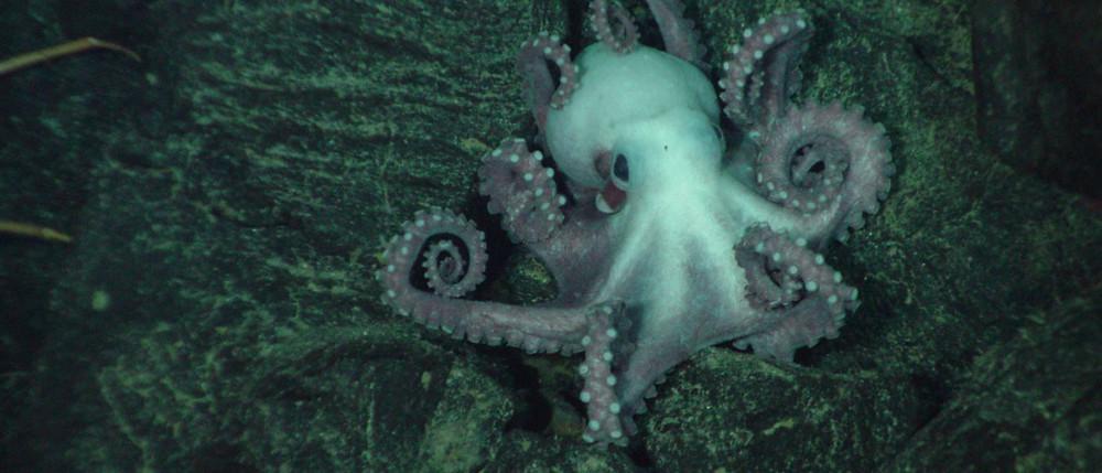 octopus_hires