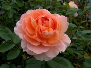 rose-society