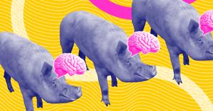 pig-brain