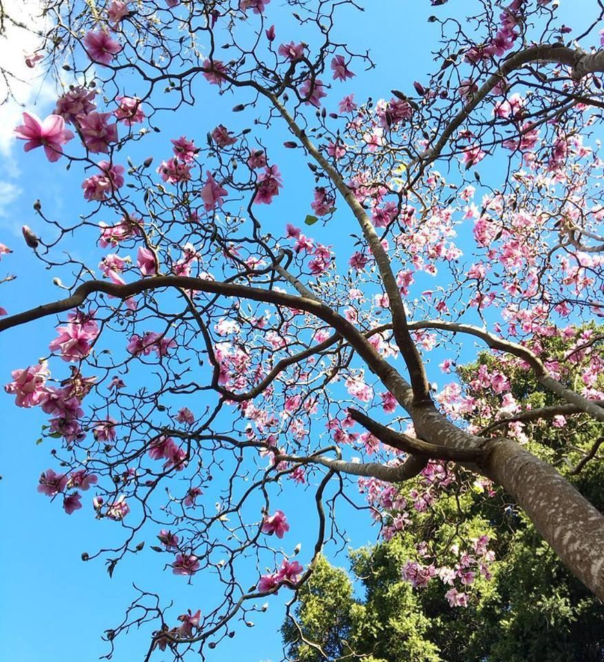 magnolia2019