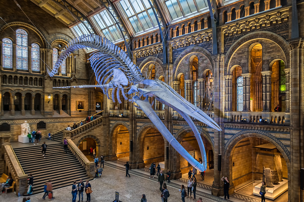 Blue Whale Skeleton on display at a museum