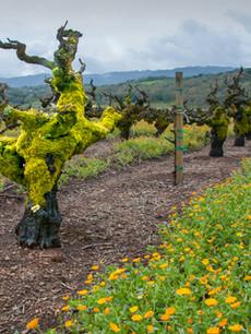Sonoma Valley_Winter Vineyard.jpg