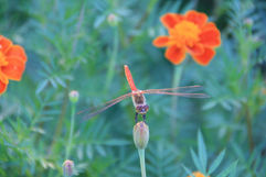 South Korea, Orange Dragonfly