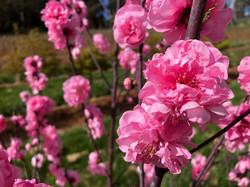 Pink Royal Peach