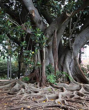 albero ficus.jpg
