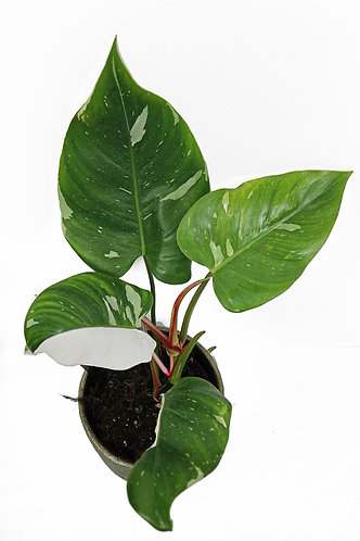 Philodendron White Princes