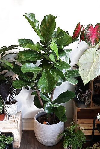 Ficus Lyrata Fiddle Leaf Fig