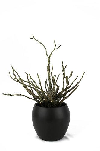 Euphorbia Platyclada - Dead Stick Plant
