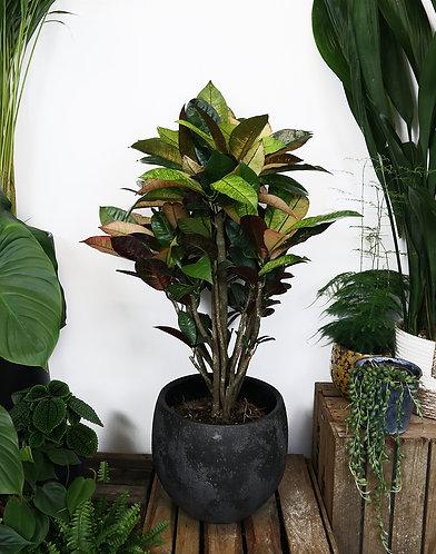 Codiaeum 'Iceton' Croton