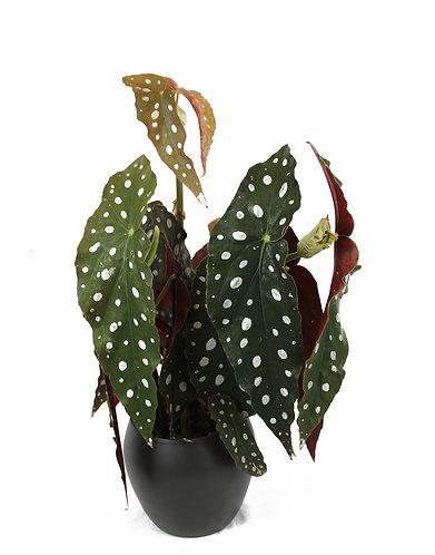 Begonia Maculata 'Polka Dot'