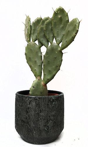 Opuntia large
