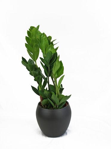 Zamiokulkas Zamiifolia 'ZZ Plant'