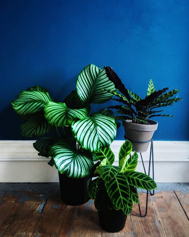 Because #calatheathursday is a thing🙌Pr