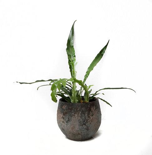 Aglaomorpha Coronans 'Snake Leaf fern'