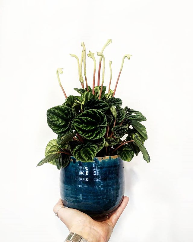 Peperomia Caperata is one one of those p