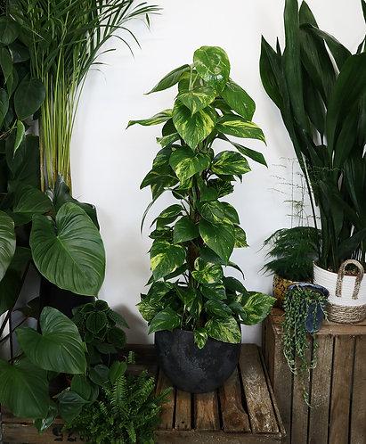 Epipremnum 'Devil's Ivy' on moss pole