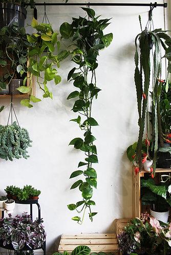 Epipremnum 'Devil's Ivy'