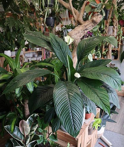 Peace Lilly Spathiphyllum 'Sensation'