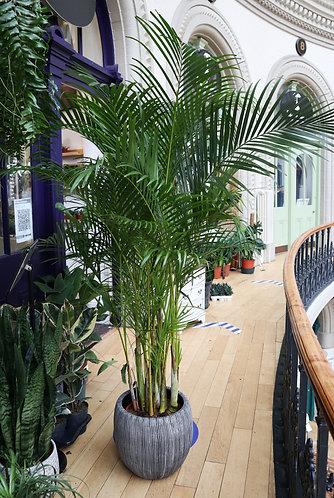 Areca palm XXL