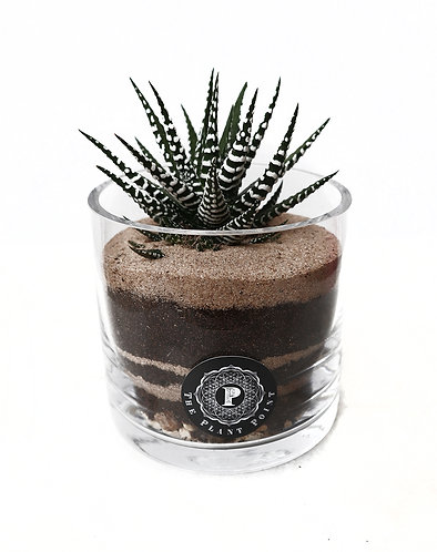 Haworthia in glass vase